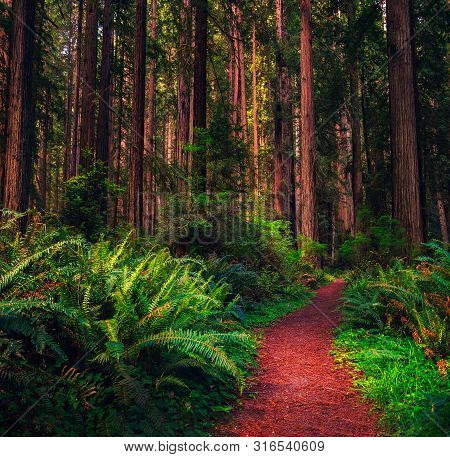 Giant Trees And A Hiking Trail Through A Redwood Forest In The Redwood National And State Parks In N