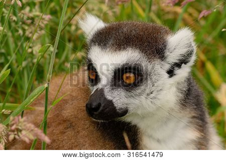 Close Up Portrait Of A Ring Tailed Lemur (lemur Catta) Sitting In The Long Grass