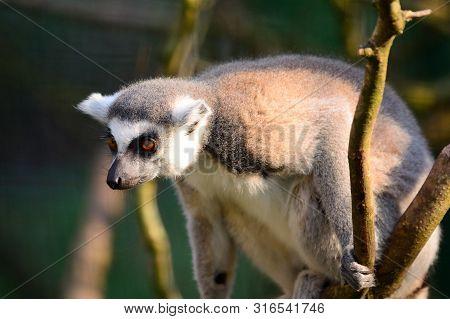 Portrait Of A Ring Tailed Lemur (lemur Catta) Climbing In A Tree