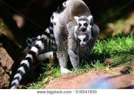 Ring Tailed Lemurs (lemur Catta)
