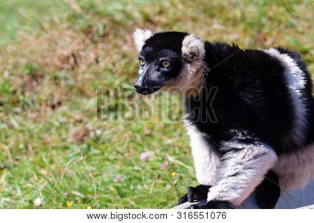 Portrait Of A Black And White Ruffed Lemur (varieca Variegata) Sitting On A Feeding Trough In A Zoo