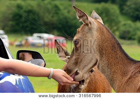 Close up of a tame red deer (cervus elaphus) being hand fed from tourists in a car poster