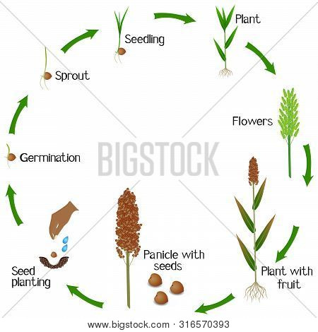 A Growth Cycle Of A Sorghum Plant On A White Background.