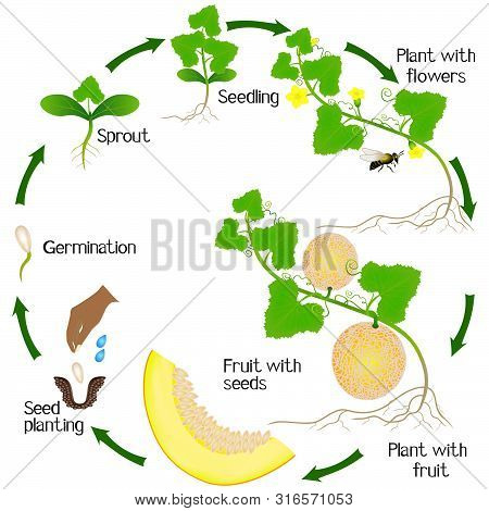 A Growth Cycle Of A Yellow Melon Plant On A White Background.