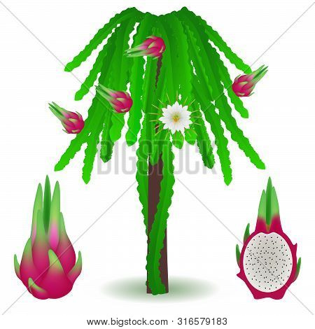 An Illustration Showing Parts Of A Pitahaya Plant.
