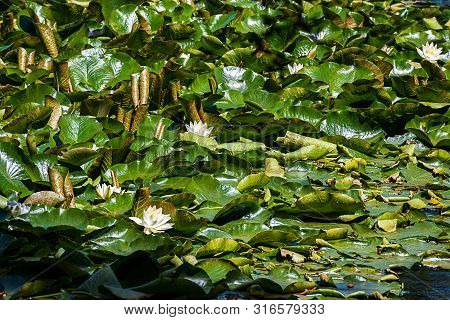 Close Up Of Glowing Green Water Lilly Leaves Floatin On Water With White Water Lilly Blooms