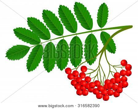 Ashberry Cluster With Red Berry And Green Leaf Isolated On White Background.