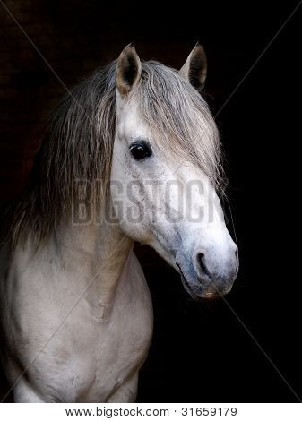 Connemara Stallion Headshot
