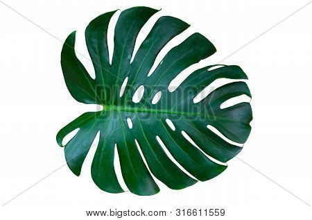 Monstera Leaves Lush Decorating For Composition Design Style Exotic. Tropical Palm Philodendron Leaf