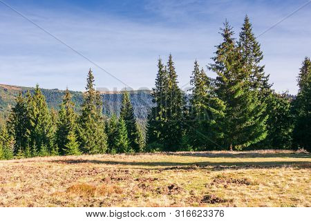 Spruce Trees On The Meadow In Mountains At Sunrise. Wonderful Autumn Scenery In Morning Light. Locat