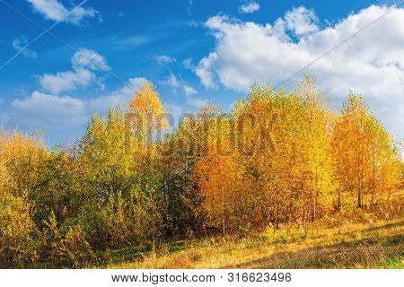 Birch Trees In Golden Foliage On The Hill. Beautiful Fall Scenery On A Bright Day Beneath A Blue Sky