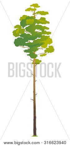 One Green Tall Pine Tree Illustration, Scots Pine Evergreen Coniferous Tree In Side View Isolated, T