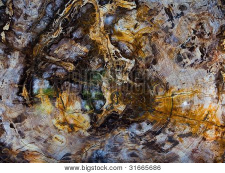 Giant Sequoia Cross Section