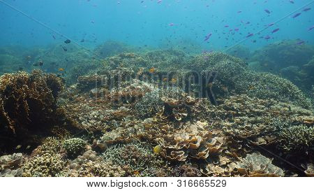 Underwater Scene Coral Reef. Tropical Underwater Sea Fishes. Camiguin, Philippines.