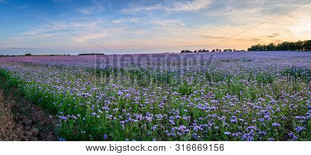 Panoramic Field Of Phacelia, A Quick Growing Green Manure Crop Which Attracts Insects And Bees, Seen