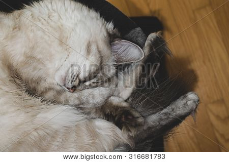 Twisted In The Ball Sleeping Siberian Neva Masquerade Cat On Her Round Bed And With One Paw Placed O