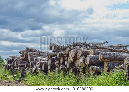 Closeup Of Felled And Stacked Tree Trunks With A Cut Edge To The Viewer. Deforestation. Enviroment P