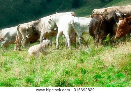 Bergamo Sheepdog During A Grouping Of Cows