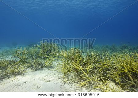 Staghorn Coral Under Water In Bonaire, An Island In The Caribbean