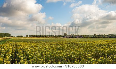 Dutch Landscape With Yellow Flowering Common Evening-primrose Or Oenothera Biennis Plants Growing In