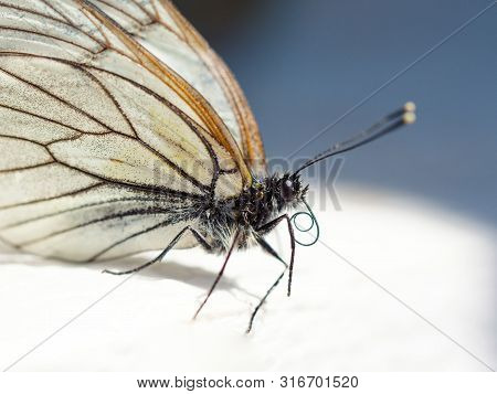 Beautiful White Butterfly Macro Portret, Soft Blurred Background. Close Up View, Selective Focus Ima