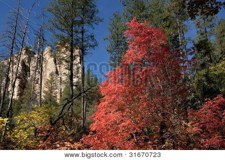 Fall Colors Some Trees Red, Others Yellow In Forest Near Sedona.