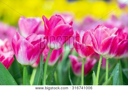 Tulip Flower In Garden. Tulip Flower At Sunny Summer Or Spring Day. Flower For Postcard Beauty And D