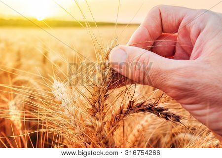 Hand Examining Ripe Wheat Crops In Field. Male Agronomist Is Checking Up If Cereal Plantation Is Rea