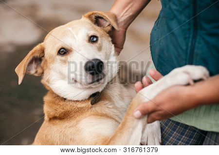 Person Hugging Adorable Yellow Dog With Funny Cute Emotions. Hand Caressing Cute Homeless Dog With S