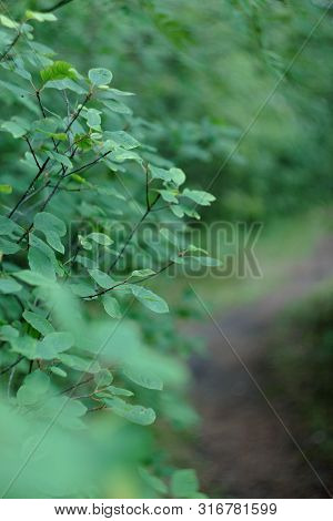 Beautiful green mystique coniferous forest. Northern forest. Walk through the forest. Journey through the forest. Tourism in the North of the country. Forest reserve. The road in forest. Mixed forest. Path in the park