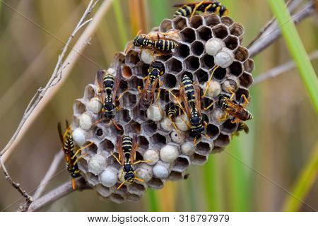 Nest Of Wasps Polist In The Grass. Small View Of Wasp Polist