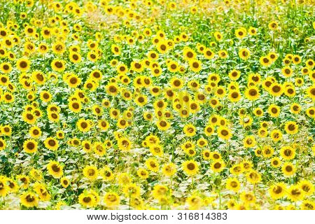 Background with the image of sunflowers field