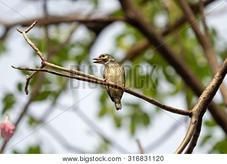Closeup Coppersmith Barbet Bird Perched On Branch Isolated On Background