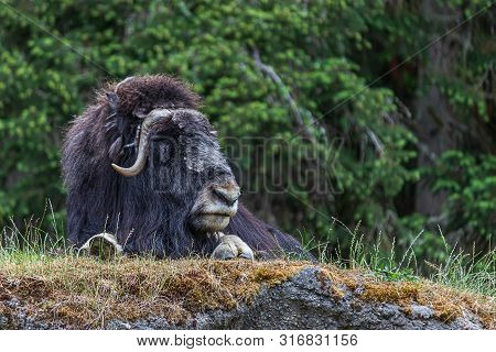 Large Resting Musk Ox Survaying Its Surroundings And Laying On Top Of A Hill