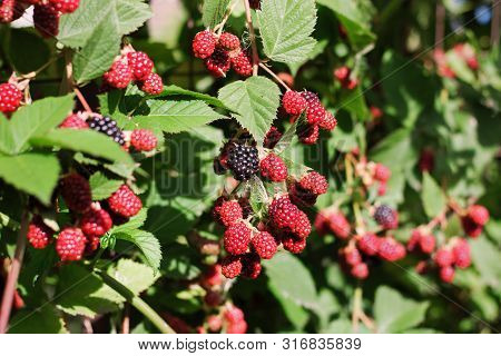 Blackberry Bush Close-up. Berry Background. Red And Black Blackberry Berries On A Background Of Gree