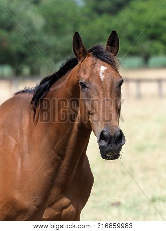 A Reitired Ex Racehorse In A Summer Paddock.