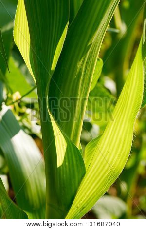 Closeup Of Corn Leaves