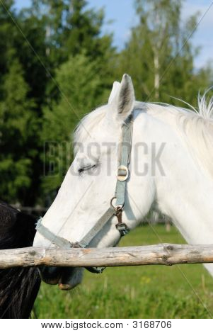 Head Of A White Horse