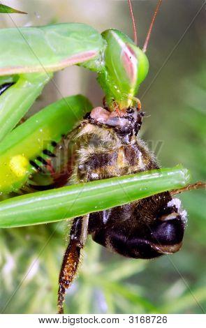 Praying Mantis Eating Bee