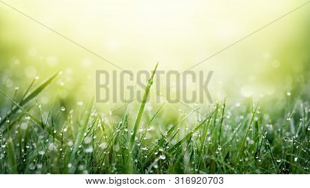 Green Grass With Dew Droplets On Meadow Field In Morning Light . Freshness And Purity Of Spring Natu