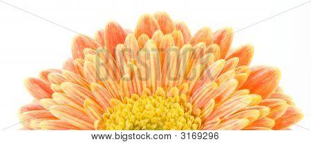 Red And Yellow Gerbera Macro