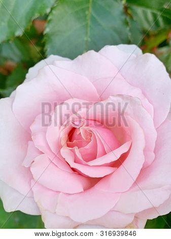 Pink rose flower in summer