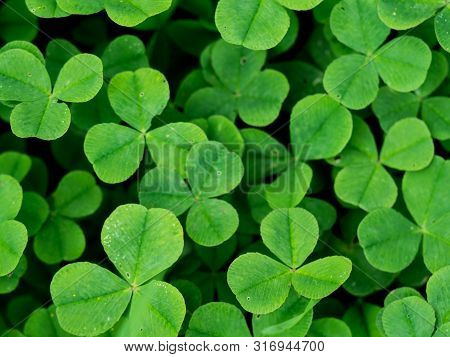 Clover Leaves Pattern. Natural Green Grass Background, Closeup With Space For Text
