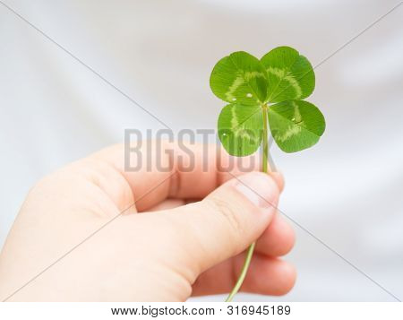 Green Our Leaf Clover In A Man's Hand.