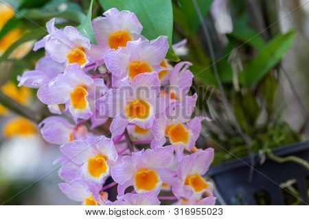 Dendrobium Farmeri Orchid. Orchid Flower In Orchid Garden At Winter Or Spring Day. Orchid Flower For