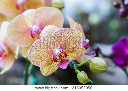 Phalaenopsis Orchid. Orchid Flower In Orchid Garden At Winter Or Spring Day. Orchid Flower For Postc