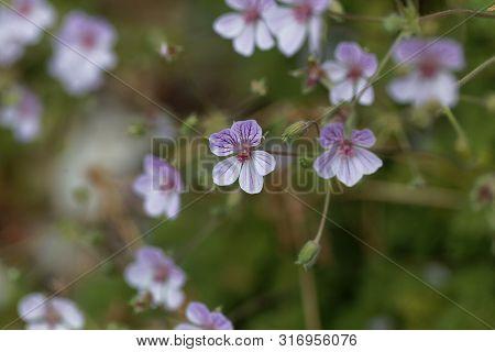 Flower Of The Storksbill Erodium Foetidum
