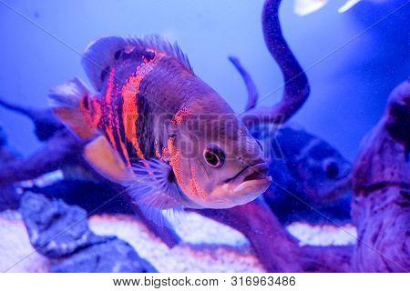 Oscar Fish, Astronotus Ocellatus. Tropical Freshwater Fish In Aquarium. Tiger Oscar, Velvet Cichlid.