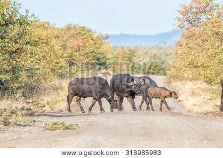 Cape Buffalo Cows And Calf, Syncerus Caffer, Crossing A Gravel Road