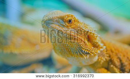 Close Up Shot Of A Yellow Barded Dragon Lizard At Zoo
